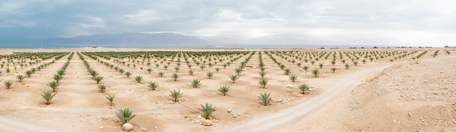 Lot #19<br />Date Palm Plantation  ~  Adrian Fish